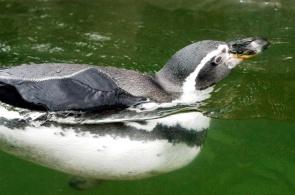 Nadále podporujeme tučňáka Humboldtova ze ZOO v Liberci