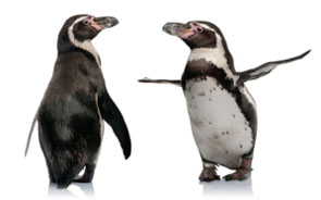 Sponzorujeme tučňáka Humboldtova